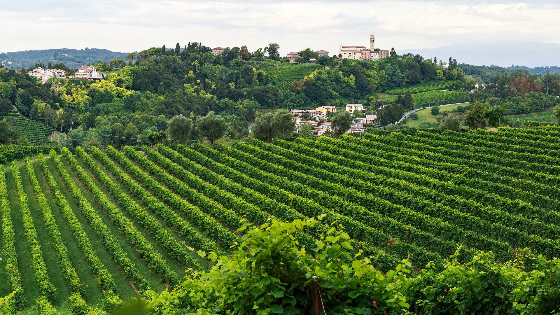The vineyards of Treviso, Italy.